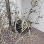 107369269 - 入口の鉢の藤が咲くまであと少しの時期でした