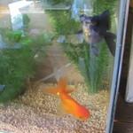 ひもの 万宝 - 店内の金魚