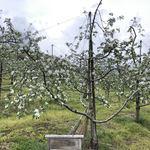 107468890 - りんごの花が咲き始めました♬