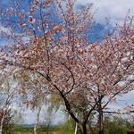 107542555 - 桜はまだキレイでした。