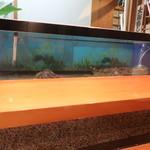 大海寿司 - カウンター席前水槽。おこぜと車エビがいる