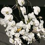 Tsuruhachi - 1周年記念のお祝い蘭