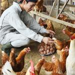 egg - その他写真:自由に動き回ることができるニワトリの卵は、生命力が強くておいしい。