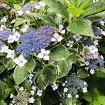 109204219 - お店の近くの紫陽花