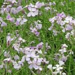 こぶし館 - 【参考】アザキ大根の花