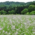 109216003 - 【参考】アザキ大根の栽培圃場