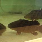 廻鮮にぎりや 海宝 - イケスで泳ぐ ネタ予備軍(本クエ・イシガキダイ等々)少しボケてます。(2010/01/01撮影)スマン