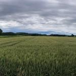 111612284 - 小麦畑