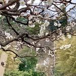 オルトレヴィーノ - 梅が見頃でしたね。鎌倉の2月。