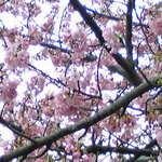 11414555 - 河津まで足を伸ばせば2月には河津桜が…。