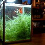 猪吉 - 内観写真:カウンターにある新鮮な海ぶどうの水槽