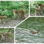 114898342 - 野生の猿や鴨に会えました(。´艸`。)