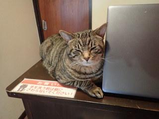 猫カフェ ミューキーズ - ティガー「いらっしゃいませニャ 手洗い消毒してニャ」