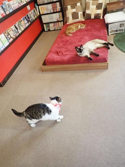 猫カフェ ミューキーズ - 店内は書籍類も豊富、ベットでくつろぐねこさんも。