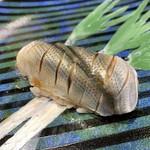 第三春美鮨 - 新子 18g 一枚付け 小型定置網漁 佐賀県大浦