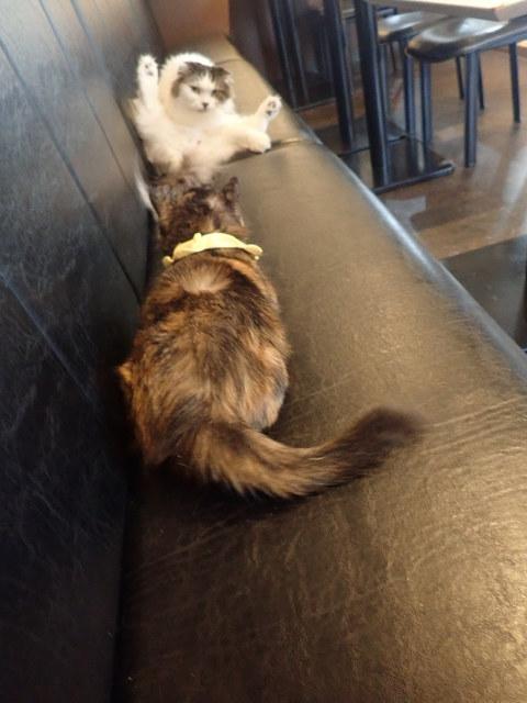 猫カフェ 猫と木 - ねね「ポオズを決めたニャ」 もなか「こうふんするニャン」