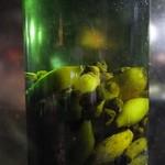 サムライ - 密造酒のまたたび酒原液