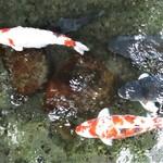 """明宝ジェラート - """"いがわ小径"""" には 沢山のアマゴやイワナ、大きな鯉が泳いでいます。      2019.09.22"""