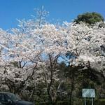 11818236 - 桜満開です