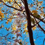 119522379 - 二天門の近くで見つけた桜*\(^o^)/*