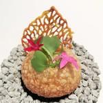 EdiTion Koji Shimomura - ピンクの星の形をしたペンタスの花が可愛く