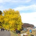 120600841 - 国指定天然記念物「北金ヶ沢のイチョウ」高さ31メートル、幹回り22メートル