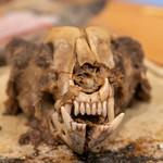 柚木元 - ツキノワグマの頭蓋骨
