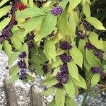 Bistro Roven - 帰り道、紫の小粒のは何だろう?GMT尾花夏樹なら摘んで味見しそう!