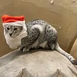 Cat Cafe てまりのおうち - ピーター サンタ