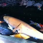 12310882 - 一匹だけ巨大な鯉