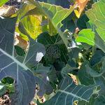 美食の杜ANOU - 自家農園 スティックセニョール
