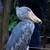 レトリバー - このハシビロコウさんに会いに来たのです♥