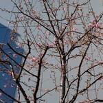 darumakiwami - GINZA SIXの屋上の 河津桜