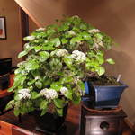 滝乃家 - 2012年4月。 アジサイに似ていますが、ハクサンボクです。