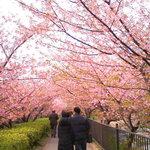 126676 - 河津桜