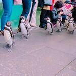 Hoterukimparou - ペンギンのお散歩