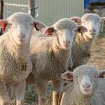 札幌成吉思汗 しろくま  - 羊を巡る冒険