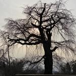 127099706 - 円山公園の「祇園枝垂れ桜」。薄曇りの夕刻、薄日の逆光に映し出された枝垂れ桜は、墨絵のような幽玄な雰囲気を漂わせ、観る者を圧倒する。