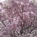 12750772 - ちょうど満開の桜