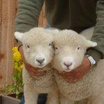 まきばCAFE - 子羊