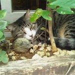 グリーンパークカフェ - 看板猫ちゃん