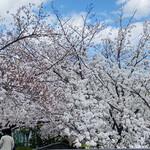 128761021 - 桜満開