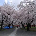 たわらや - 平野神社の桜
