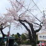 梅乃寿司 - 2012/5/9のさくらのようす。