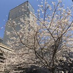 129061411 - 日本橋コレドからの桜の写真