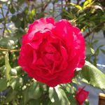 12939305 - 薔薇一輪