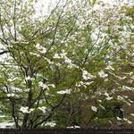 Rue Favart - 加計塚小学校のハナミズキ
