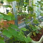 エコファームカフェ 632 - 今年もグリーンカーテン始めました!去年のようにグングン成長して欲しいです♩