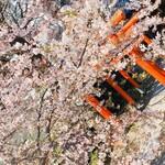 130357712 - 近くの赤城神社。去年の春です