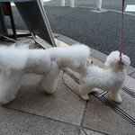 BISTRO FAVORI - 思いがけずビションの仔犬